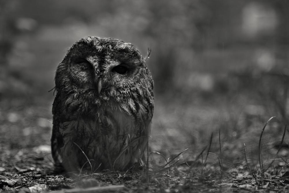 Tanny Owl 1
