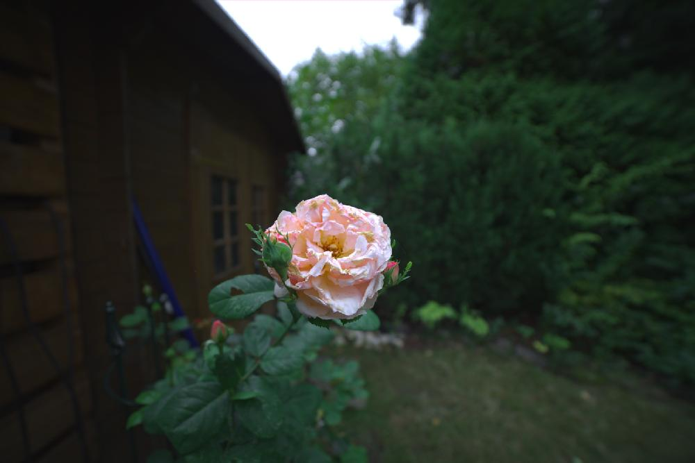 A rose shot with the 14mm lens on a full frame camera